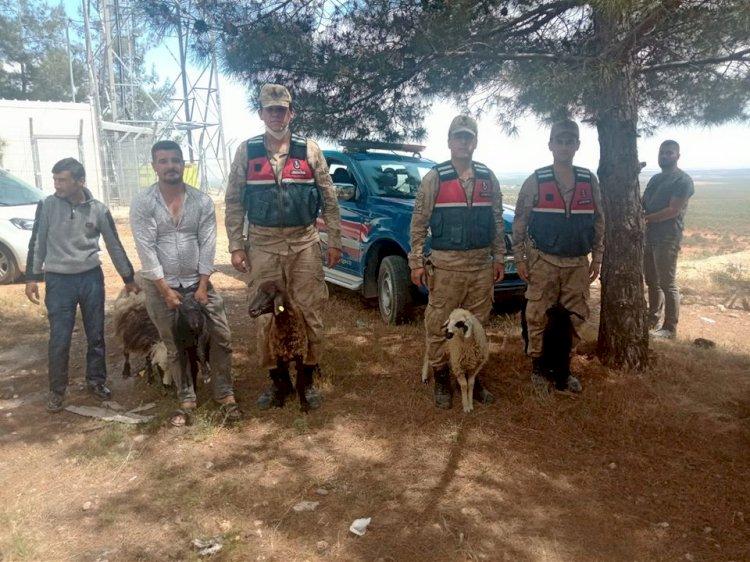 Nizip Jandarma Kayıp Koyunları Buldu